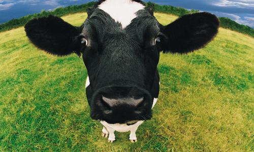 Een koe met een GoPro: de toekomst van de melkveehouderij?